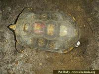 South American Yellow-footed Tortoise, Geochelone denticulata