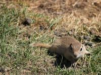 photo - Alashan ground squirrel, Spermophilus alashanicus