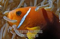 ...Fire Clownfish ( Amphiprion melanopus ) , Vakarufalhi , Ari atoll , Indian Ocean , Maldives stoc