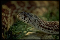 : Pituophis melanoleucus affin; Sonoran Gopher Snake