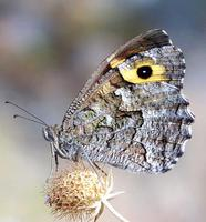 Hipparchia semele - Grayling