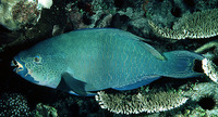 Scarus altipinnis, Filament-finned parrotfish: