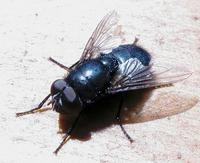 Image of: Calliphoridae (blow flies, bluebottles, cluster flies, and greenbottles)