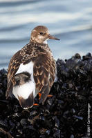 Image of: Arenaria interpres (ruddy turnstone)