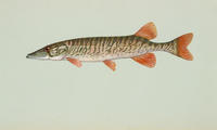 Image of: Esox americanus (grass pickerel)