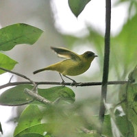 Golden-bellied White-eye - Zosterops uropygialis