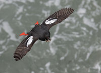Pigeon Guillemot (Cepphus columba) photo