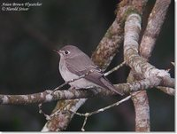 Asian Brown Flycatcher - Muscicapa dauurica