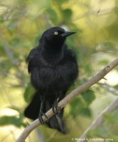 Greater Antillean Grackle - Quiscalus niger