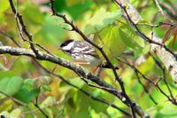 Blackpoll Warbler male in Nashville (5-1-05).jpg