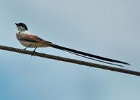 Fork-tailed Flycatcher side