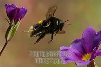 Large earth bumble bee ( Bombus terrestris ) stock photo