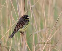 Yellow-breasted bunting C20D 02452.jpg