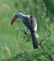 Red-billed Hornbill p.242