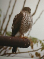 : Accipiter striatus; Sharp-shinned Hawk