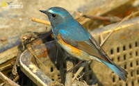 Fig. 17  Red-flanked Bluetail : 유리딱새