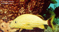 Haemulon sciurus, Bluestriped grunt: fisheries, aquarium
