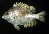 Wattsia mossambica, Mozambique large-eye bream: fisheries