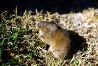 Image of: Geomys breviceps (Baird's pocket gopher)