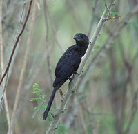 Smooth-billed Ani (Crotophaga ani) photo