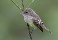 Galapagos Flycatcher (Myiarchus magnirostris) photo