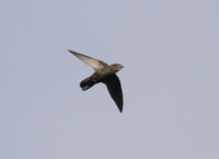 Pale-rumped Swift (Chaetura egregia) photo