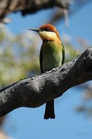 Chestnut-headed Bee-eater - Merops leschenaulti