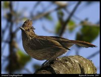 Striated Laughingthrush - Garrulax striatus