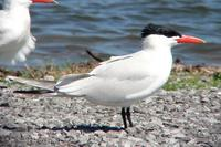 Caspian Tern adult at Old Hickory Lake (4-9-06).jpg