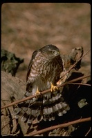 : Accipiter striatus; Sharp Shinned Hawk