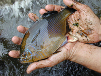 : Embiotoca lateralis; Striped Surfperch