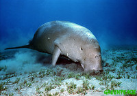 Dugong feeding at the seabed, Red Sea. Dugongs live in various locations around the globe this s...
