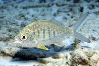 Gerres cinereus, Yellow fin mojarra: fisheries, bait