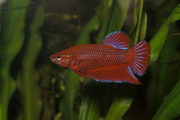 Betta splendens, Siamese fighting fish: aquarium