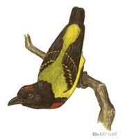 Image of: Prionochilus thoracicus (scarlet-breasted flowerpecker)