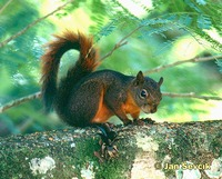 Sciurus granatensis - Red-tailed Squirrel