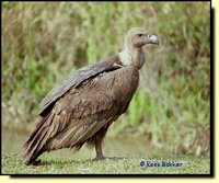 White-rumped Vulture - Gyps bengalensis