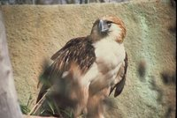 Great Philippine Eagle - Pithecophaga jefferyi