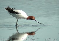 Red-necked Avocet - Recurvirostra novaehollandiae