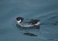 Ancient Murrelet (Synthliboramphus antiquus) photo