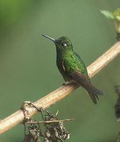 Buff-tailed Coronet (Boissonneaua flavescens) photo