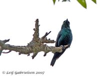 Short-tailed Starling - Aplonis minor