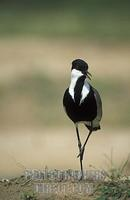 Spur winged lapwing , Vanellus spinosus , Murchison Falls National Park , Uganda stock photo