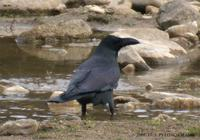 Jungle Crow Corvus macrothynchos 큰부리까마귀