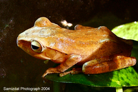: Polypedates leucomystax; Brown Tree Frog