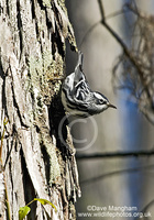 : Mniotilta varia; Black-and-white Warbler