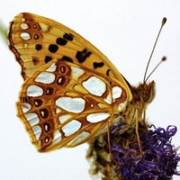 Issoria lathonia - Queen of Spain Fritillary