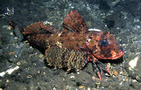 Image of Aspitrigla cuculus, East Atlantic red gurnard, Gjeli i kuq i detit, Djâj, Dyk el May, L...