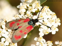 Zygaena loti - Slender Scotch Burnet