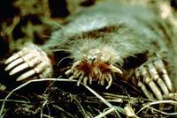 Image of: Condylura cristata (star-nosed mole)